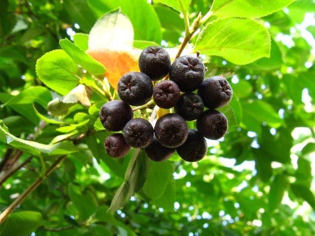 Арония (рябина) черноплодная – полезные свойства, химический состав, правила сбора и хранения