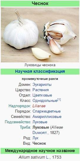 Чеснок: состав, польза и вред для организма, применение при беременности