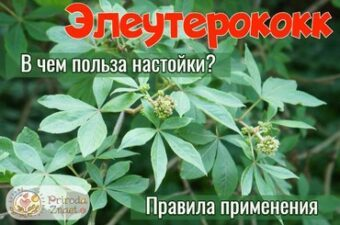 Девясил: лечебные свойства и противопоказания, применение настойки корней растения