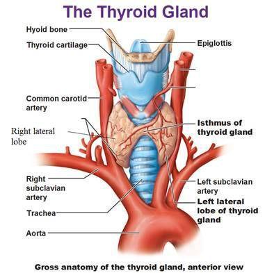 Диффузный токсический зоб: симптомы, причины, диагностика