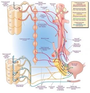 Дисфункции мочевого пузыря по гипертоническому и гипотоническому типу: провоцирующие факторы, характерные симптомы, методы обследования и терапии