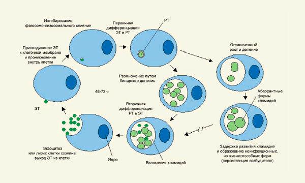 Хламидиоз у мужчин: как развивается инфекция, первые признаки и методы лечения