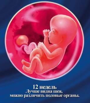 Как развивается плод и что происходит в организме матери на 12 неделе беременности