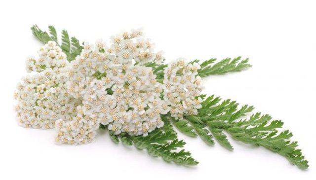 Какие травы помогают от насморка: показания и способы применения