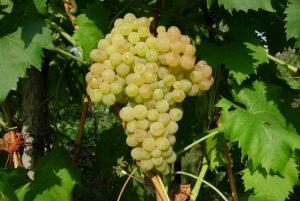 Полезные свойства винограда кишмиш зеленого