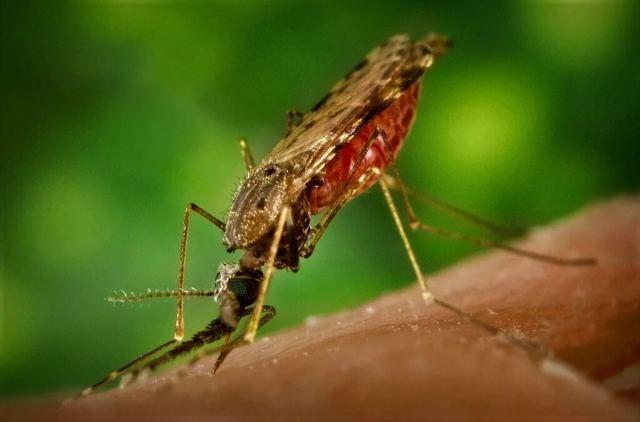 Малярия: виды возбудителя и жизненный цикл плазмодия, диагностические критерии и лечение