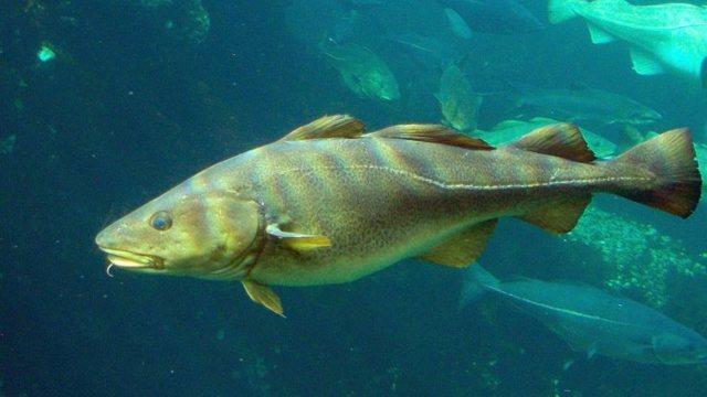 Минтай: полезные свойства, противопоказания к применению, химический состав рыбы