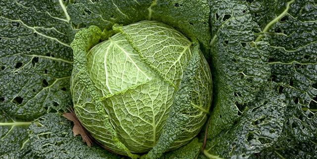Савойская капуста – польза, вред, химический состав и применение
