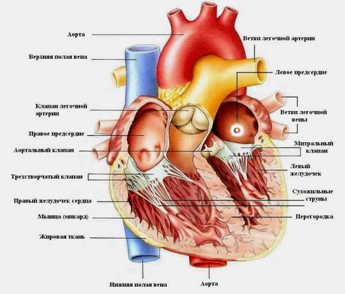УЗИ сердца: показания к диагностике, правила подготовки, техника проведения, расшифровка результатов