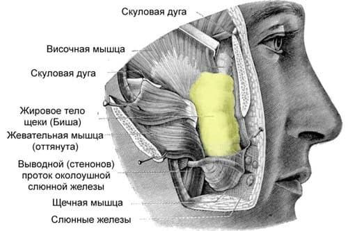 Запавшие щеки – фото, как изменить заостренные скулы, как увеличить скулы