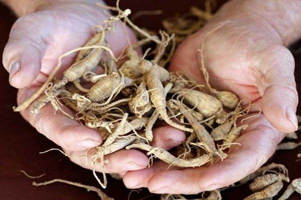 Женьшень: лечебные свойства и противопоказания, польза растения для мужчин