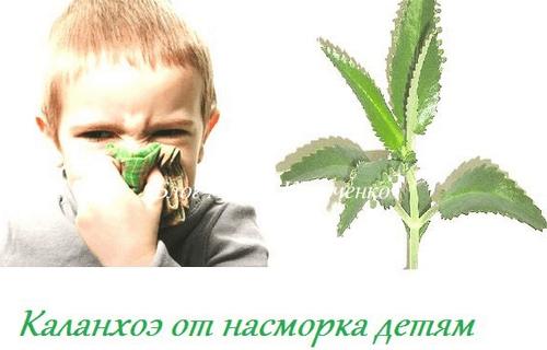 Каланхоэ от насморка детям: показания, противопоказания, 6 правил применения