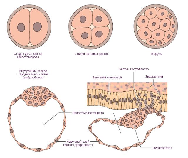 Причины появления мажущих выделений при беременности
